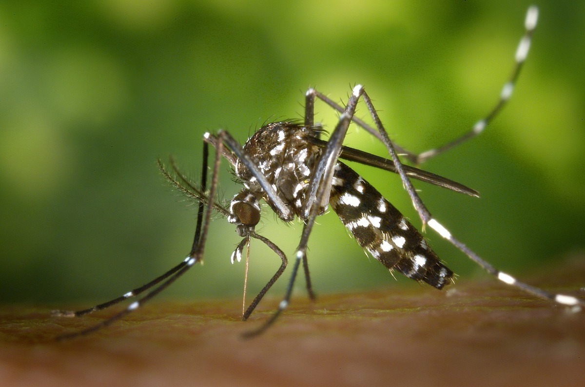 gallery/tiger-mosquito-49141_1280